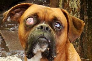 Kezeletlen esetben a szemgolyó jelentős mértékben megnagyobbodik