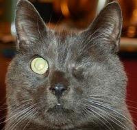 Szemgolyó eltávolítása macskánál