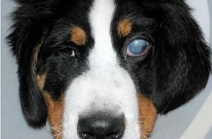 zöldhályog a kutya bal szemén