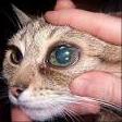 zöldhályog miatt megnagyobbodott szemgolyó macskában